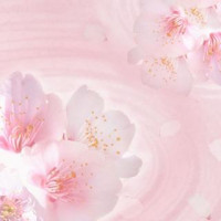 叶桜(カナオ)先生画像