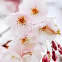 命桜(ミサ)先生画像